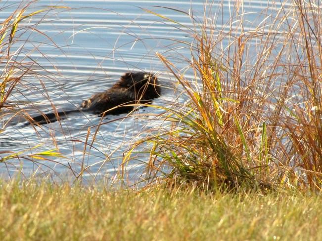 Beaver Beauty Sherbrooke, Nova Scotia Canada