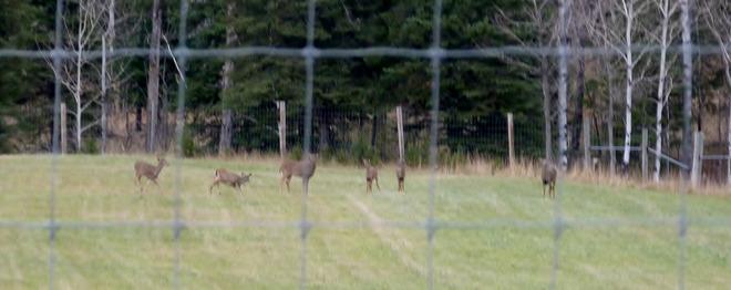 A herd of deer in a field Oxdrift, Ontario Canada