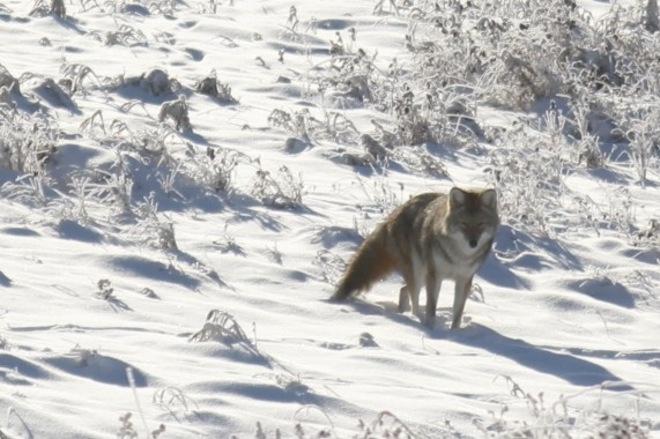 Coyotee on Frosty Day Calgary, Alberta Canada