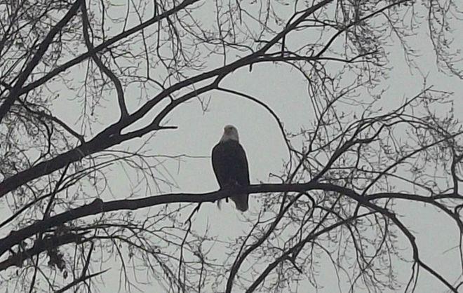 Eagle Winnipeg, Manitoba Canada