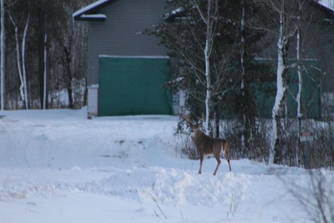 The elusive Buck Prince Albert, Saskatchewan Canada