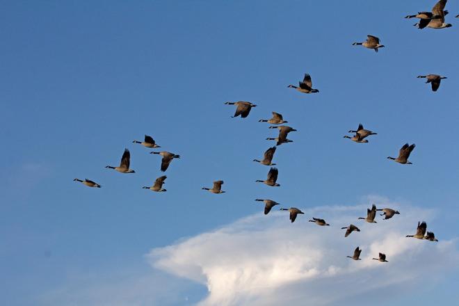 Migrating Geese Edmonton, Alberta Canada