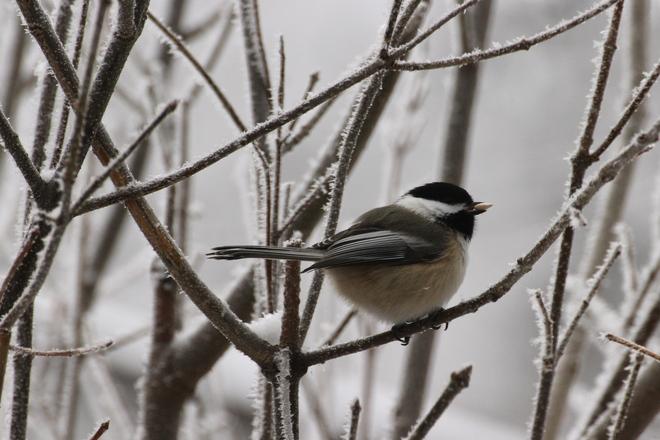 Black-capped Chickadee Dalmeny, Saskatchewan Canada