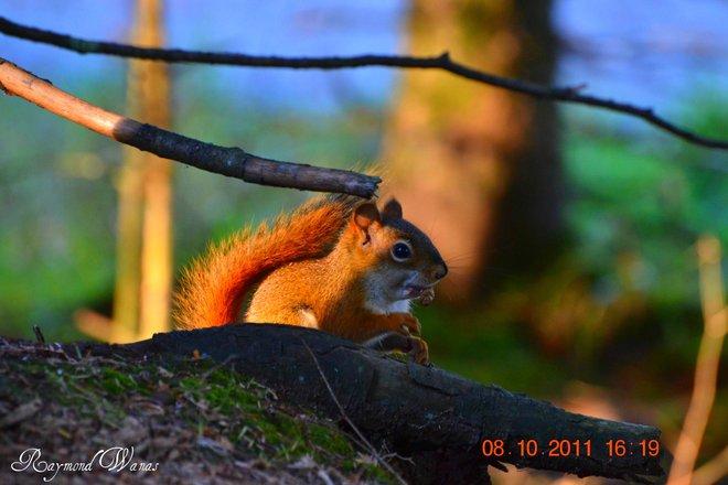 Squirrel Gatineau, Quebec Canada