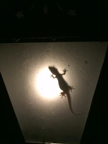 lizard inside the lamp