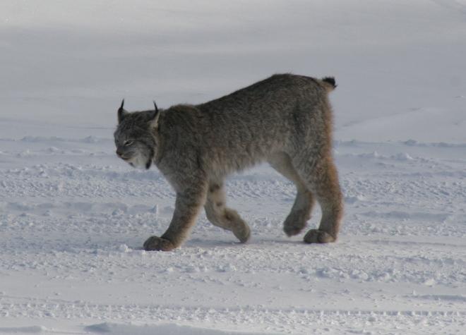 lynx on snow Timmins, Ontario Canada