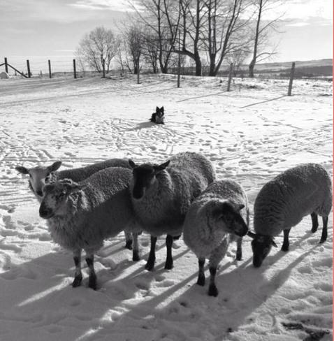 Great Weather for Sheep-ing! Okotoks, Alberta Canada