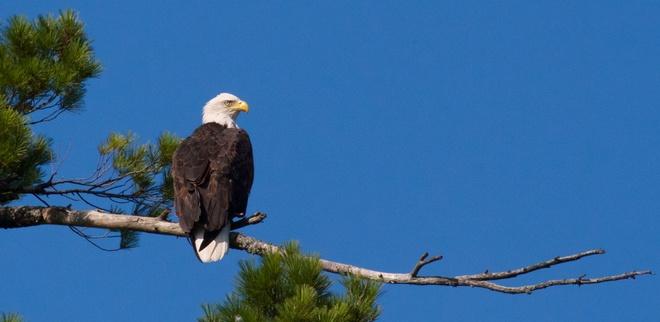 olive lake bald eagle Marten River, Ontario Canada