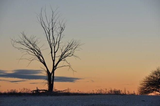 Lone Elm at dawn Erin, Ontario Canada