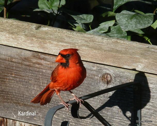 Mr. Cardinal Ottawa, Ontario Canada