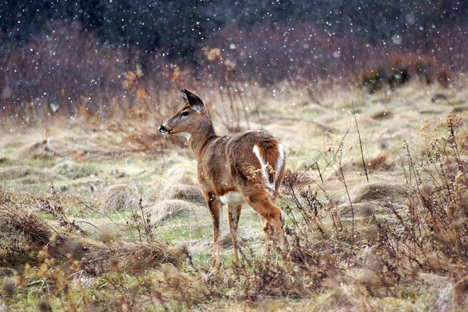deer in falling snow Kingston, Ontario Canada