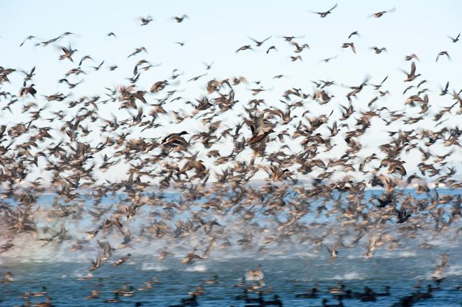 Waterfowl Frenzy Surrey, British Columbia Canada