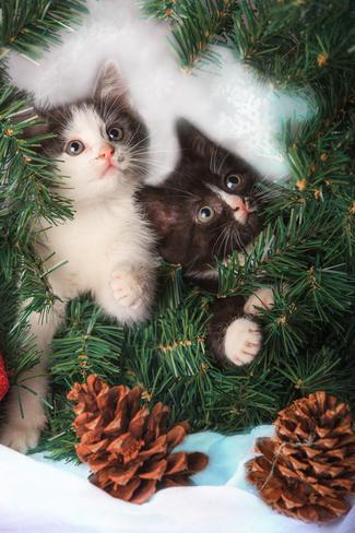 Kittens for Xmas Saint John, New Brunswick Canada