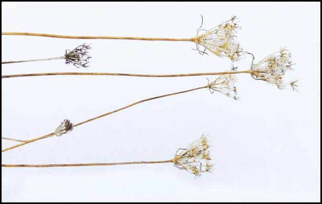 Along Esten Dr., dry wild flowers . Elliot Lake, Ontario Canada