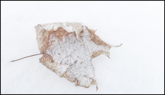 Esten Dr. dry leaf laying on snow. Elliot Lake, Ontario Canada