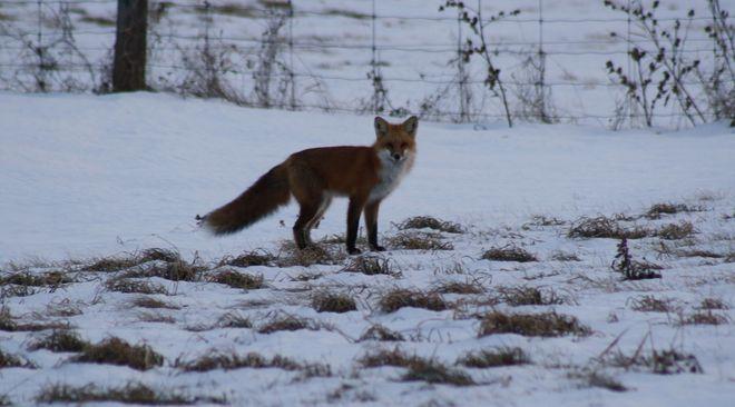 Fox On The Hunt Temiskaming Shores, Ontario Canada