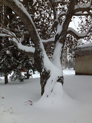 snowy tree Callingwood, Alberta Canada