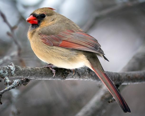 Female cardinal Mississippi Mills, Ontario Canada