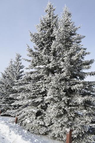 Natures Christmas Trees Calgary, Alberta Canada