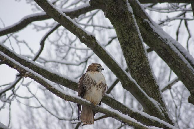 Red Tailed Hawk Ajax, Ontario Canada