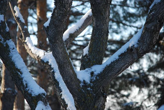 Snow, Tree, Sunlight Brandon, Manitoba Canada