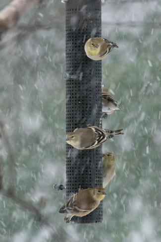 American Goldfinches Fredericton, New Brunswick Canada