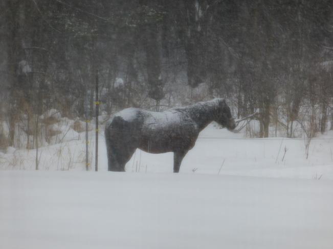 Rosie in a snow storm Avonmore, Ontario Canada