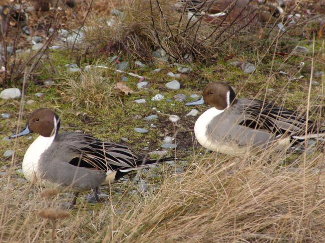PINTAILS View Royal, British Columbia Canada