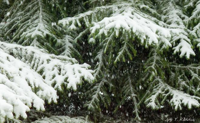 heavy snow on pine tree Coquitlam, British Columbia Canada