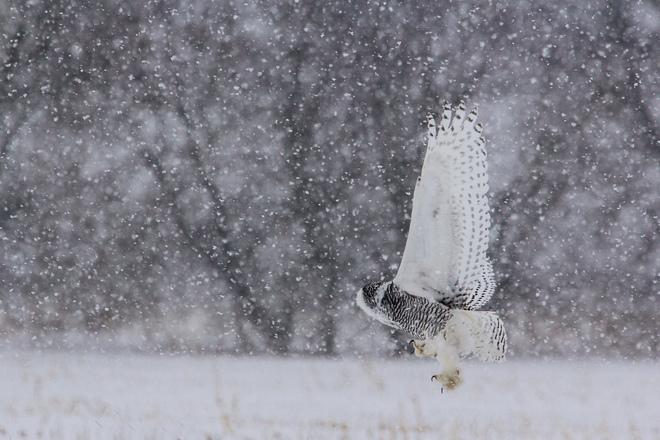 Snowy Owl Swoop Ottawa, Ontario Canada