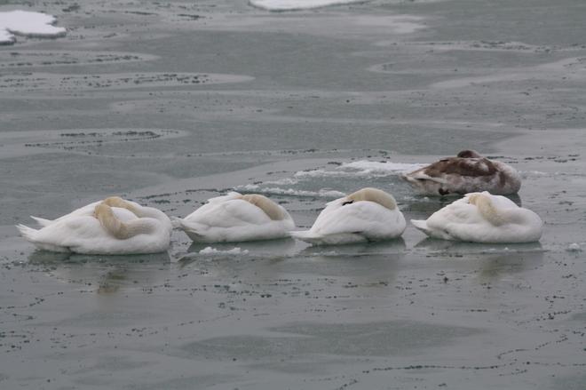 Sleeping on ice Brighton, Ontario Canada