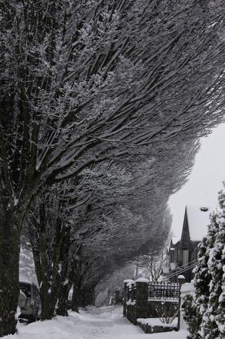 Winter cloaks trees Vancouver, British Columbia Canada