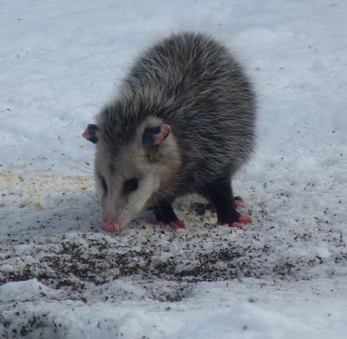 Christmas Possum Port Rowan, Ontario Canada