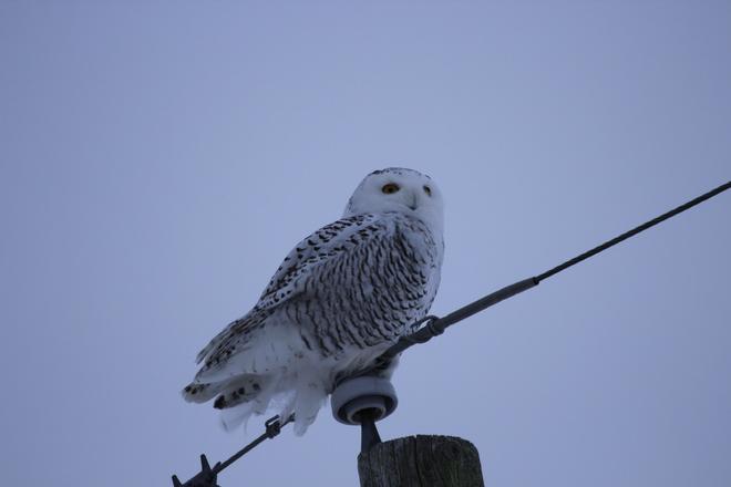 Snowy Returns Chesley, Ontario Canada