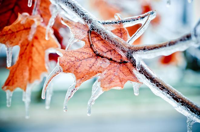 Iced Maple Welland, Ontario Canada
