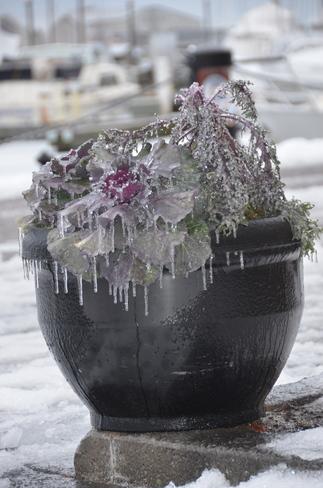 Frozen flowers Toronto, Ontario Canada