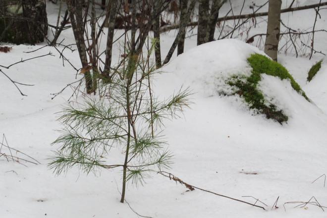 Pine Tree & Rock Amidst Snow Chester, Nova Scotia Canada