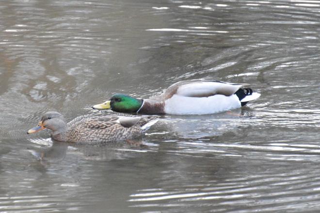 Mallard Ducks West Vancouver, British Columbia Canada
