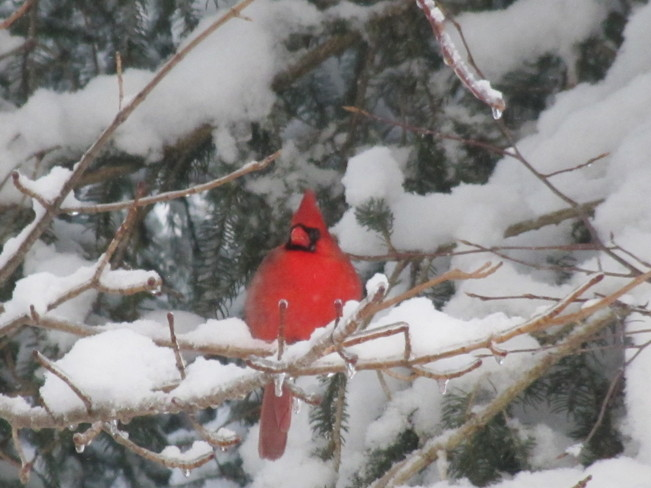 Christmas Cardinal Rothesay, New Brunswick Canada