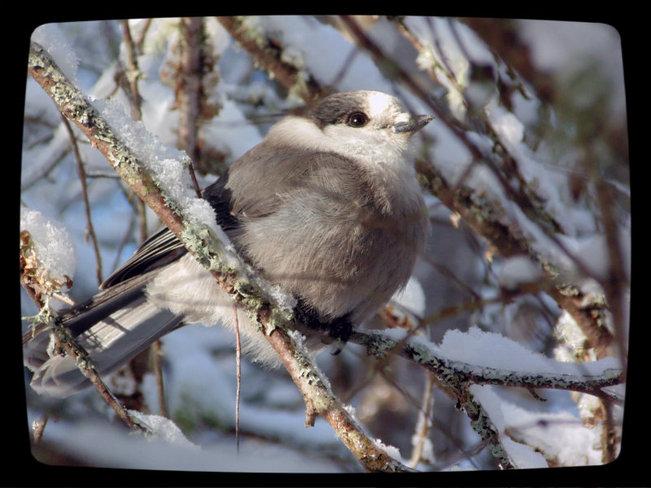Grey Jay Rusagonis, New Brunswick Canada