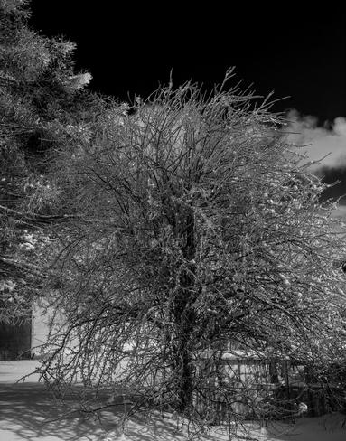 Snowy Tree Saint John, New Brunswick Canada