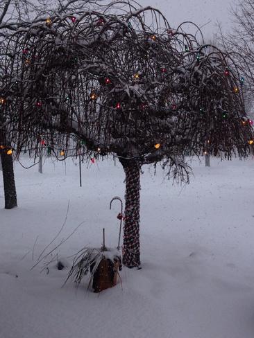 nice tree!! Welland, Ontario Canada