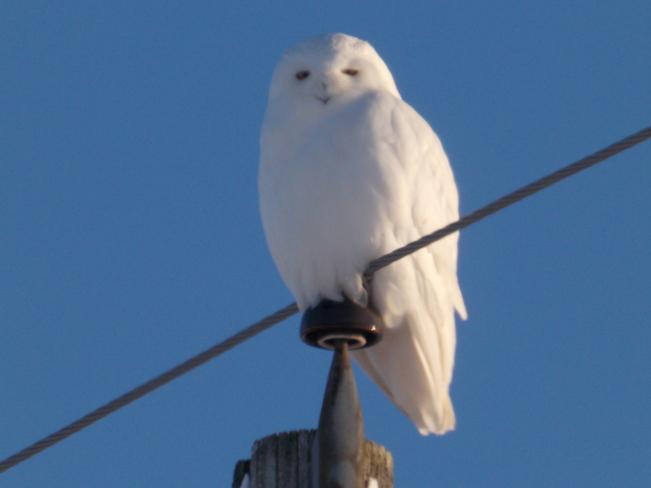 Mr.Snowy returns Stratford, Ontario Canada