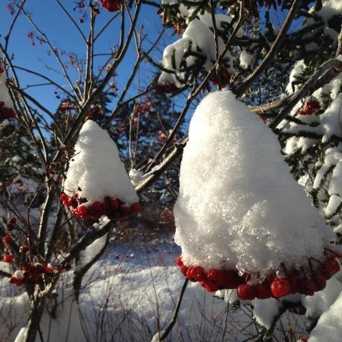 Dog Berries and snow. Spaniard's Bay, Newfoundland and Labrador Canada
