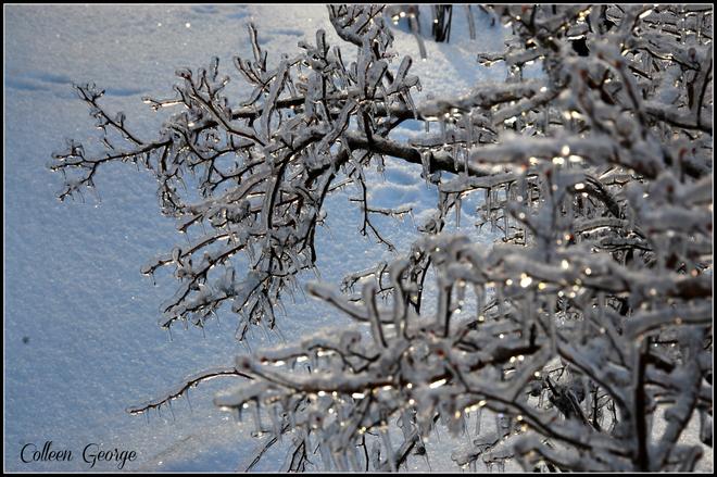 Iced Blueberry Bush Centreville, Nova Scotia Canada