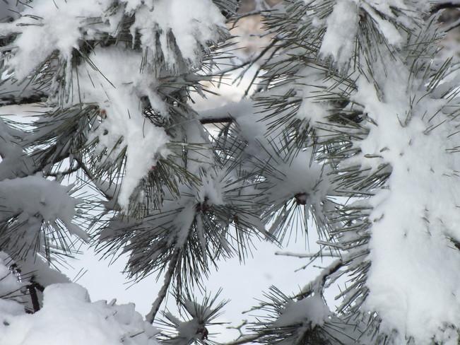 Snowy branches Richmond Hill, Ontario Canada