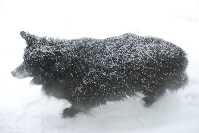 Snow-Covered Dog Brandon, Manitoba Canada