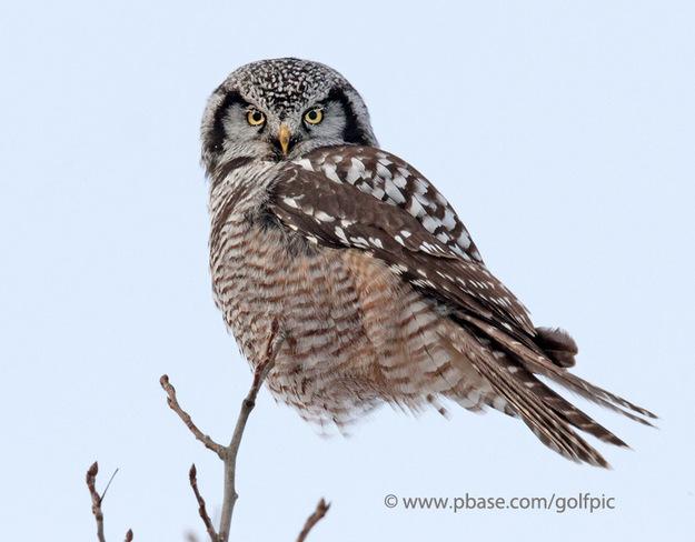 Northern Hawk Owl Ottawa, Ontario Canada