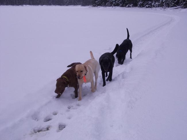 Walking the dogs Cartier, Ontario Canada