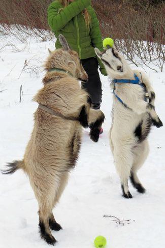 Presqu'ile goats (I kid you not! :-)) Brighton, Ontario Canada